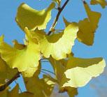 Ginkgo biloba (ősszel)