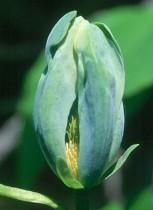 Magnolia 'Blue Opal'