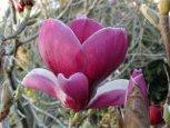 Magnolia 'Ruby'