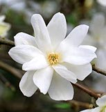 Magnolia 'Spring Snow'