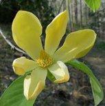 Magnolia acuminata var. subcordata 'Skyland's Best'