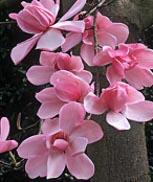 Magnolia campbelii sp.