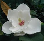 Magnolia grandiflora 'Russet'