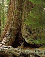 Sequoiadendron giganteum (és szarvas az oduban)